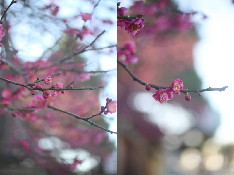 pink_blossoms_triptych_800