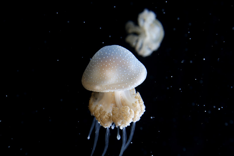 jellyfish_black_800