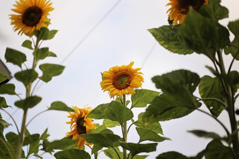 sunflower_tall_800