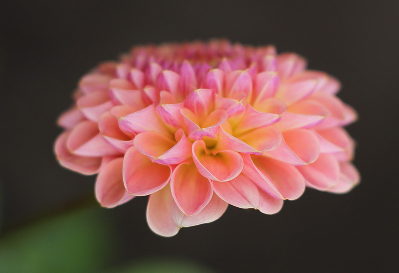 pink_dahlia_closeup_800