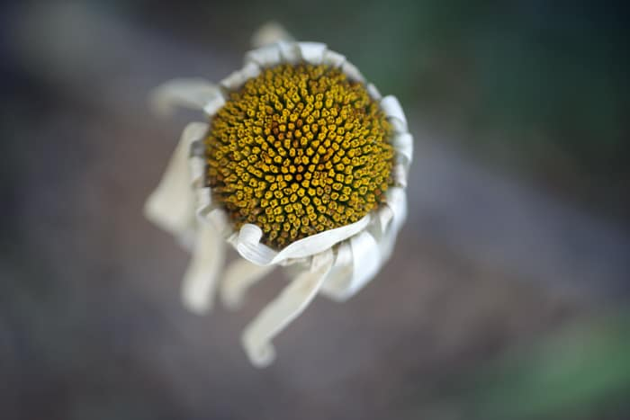 daisy_petal_700