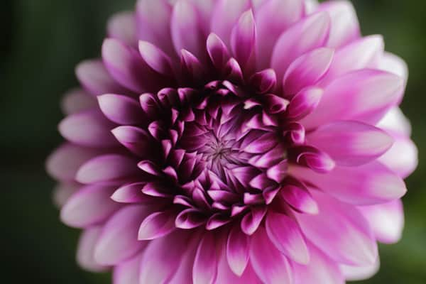 dahlia_purple_close_600